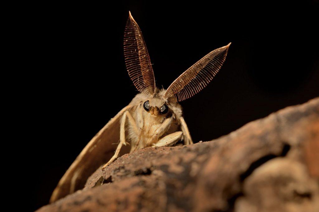 Lymantria dispar - The gypsy moth