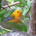Male prothonotary warbler in Salamanca National Park, Colombia. Photograph taken by Nick Bayly